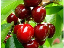 MeSa treatment of cherry trees could increase health-promoting properties of cherry fruit consumption