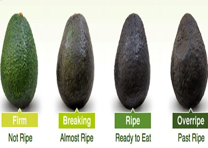 Storage of partially-ripened avocados more than 4 d resulted in quality loss, and unripe fruit can be held in storage for 14 d before ripening without quality loss