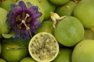 Embrapa launches the first variety of passion fruit suitable for commercial cultivation in semi-arid areas
