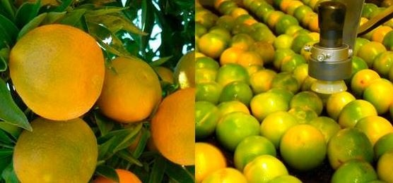 Degreening of early-season citrus varieties with ethylene affects fruit volatiles