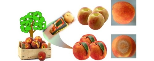 Possibility of sorting asymptomatic peach fruit, by DA-meter, that will show different brown rot incidence during storage